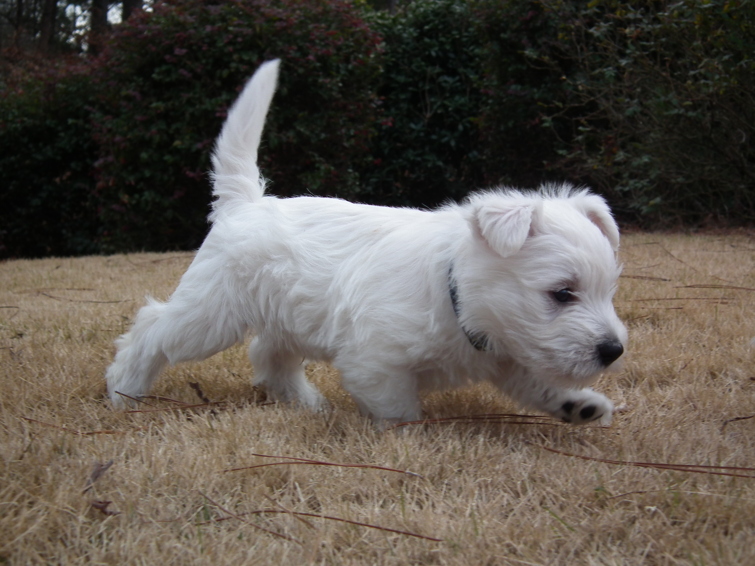 Cascading Westies of Georgia